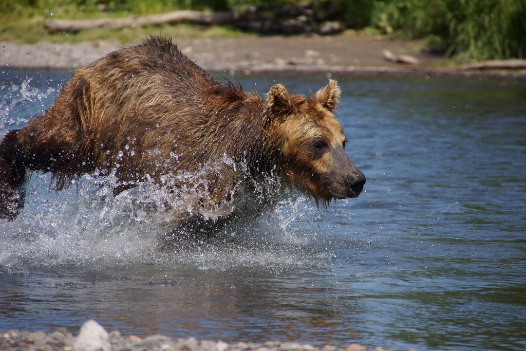 brown bear Bear Fishing Near Kurilskoye Lake in Kamchatka
