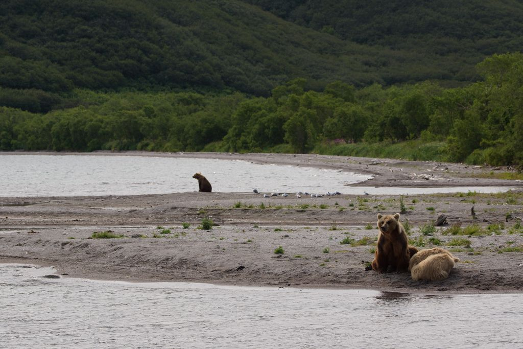 brown bear7 Bear Fishing Near Kurilskoye Lake in Kamchatka