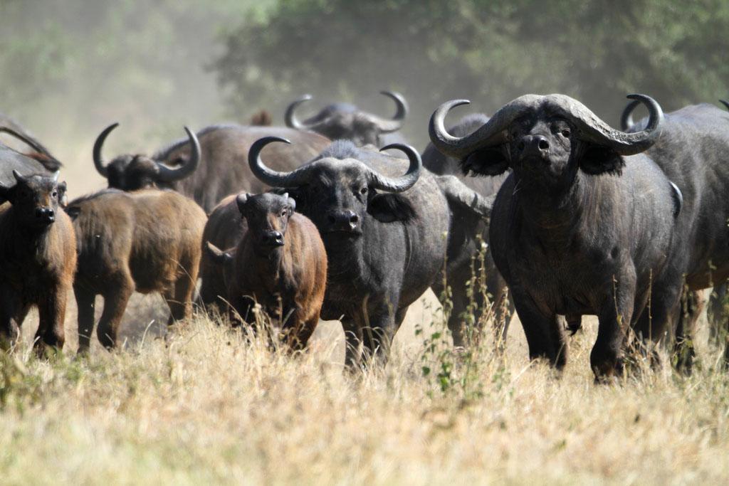 cape buffalo6 Cape Buffalo   Half a Ton of Pot Roasts