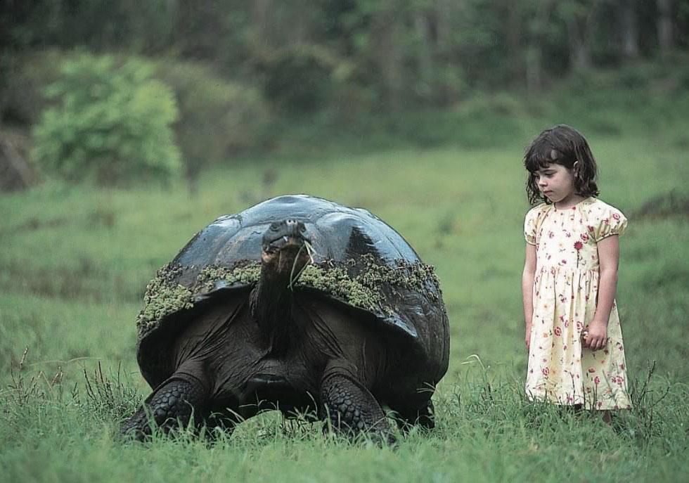 galapagos gaint tortoise Galapagos Gaint Tortoise