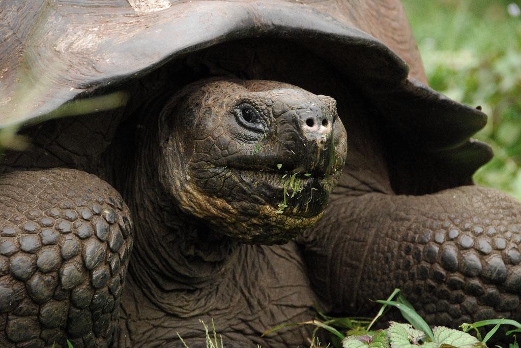 galapagos gaint tortoise1 Galapagos Gaint Tortoise