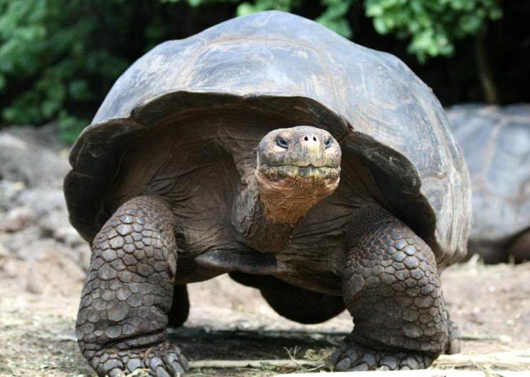 galapagos gaint tortoise4 Galapagos Gaint Tortoise