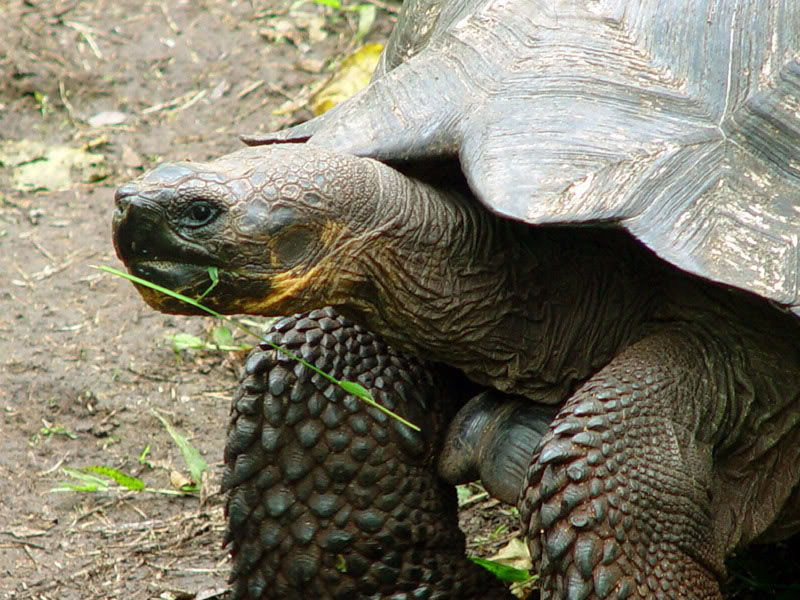 galapagos gaint tortoise5 Galapagos Gaint Tortoise