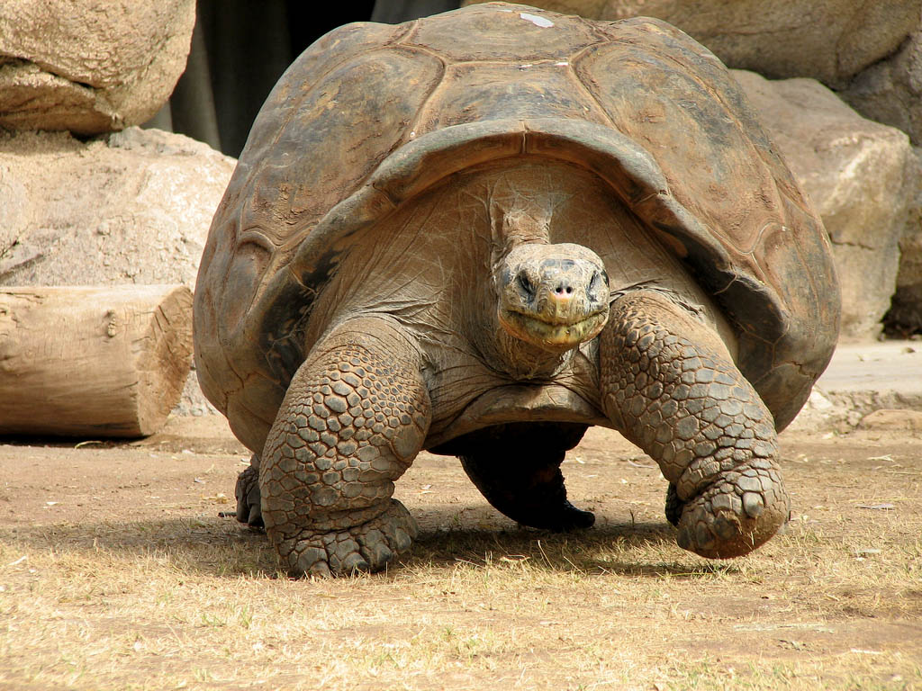 galapagos gaint tortoise8 Galapagos Gaint Tortoise