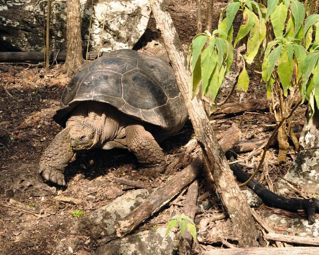galapagos gaint tortoise9 Galapagos Gaint Tortoise
