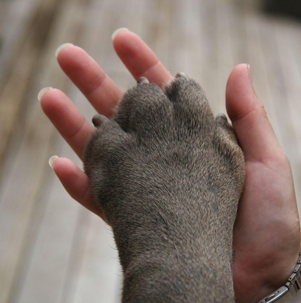 neapolitan mastiff11 Lovely Neapolitan Mastiff Lucy