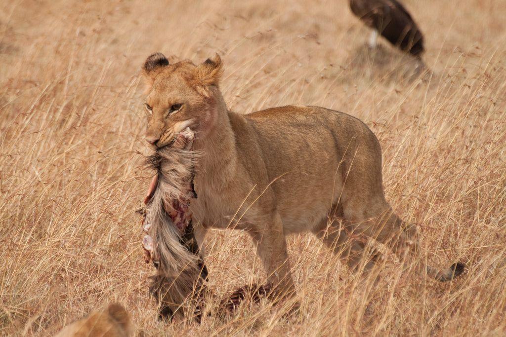 kenya safari2 Masai Mara Camping Safari in Kenya
