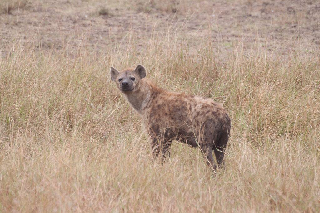 kenya safari20 Masai Mara Camping Safari in Kenya