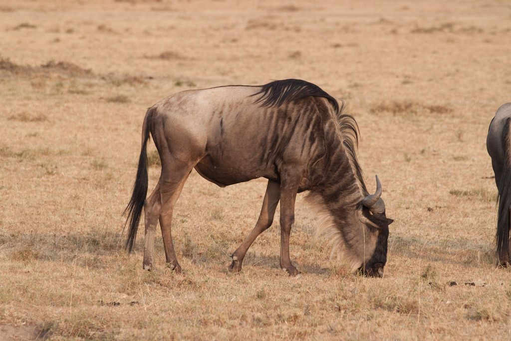 kenya safari3 Masai Mara Camping Safari in Kenya