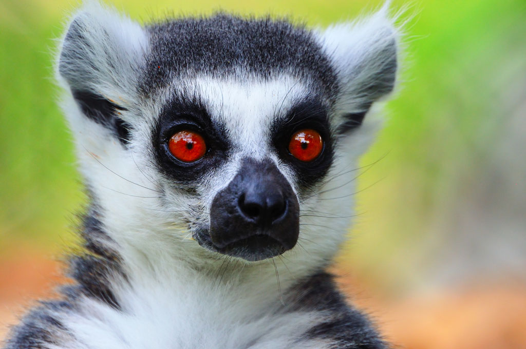 lemur catta The Most Recognized Lemur Catta