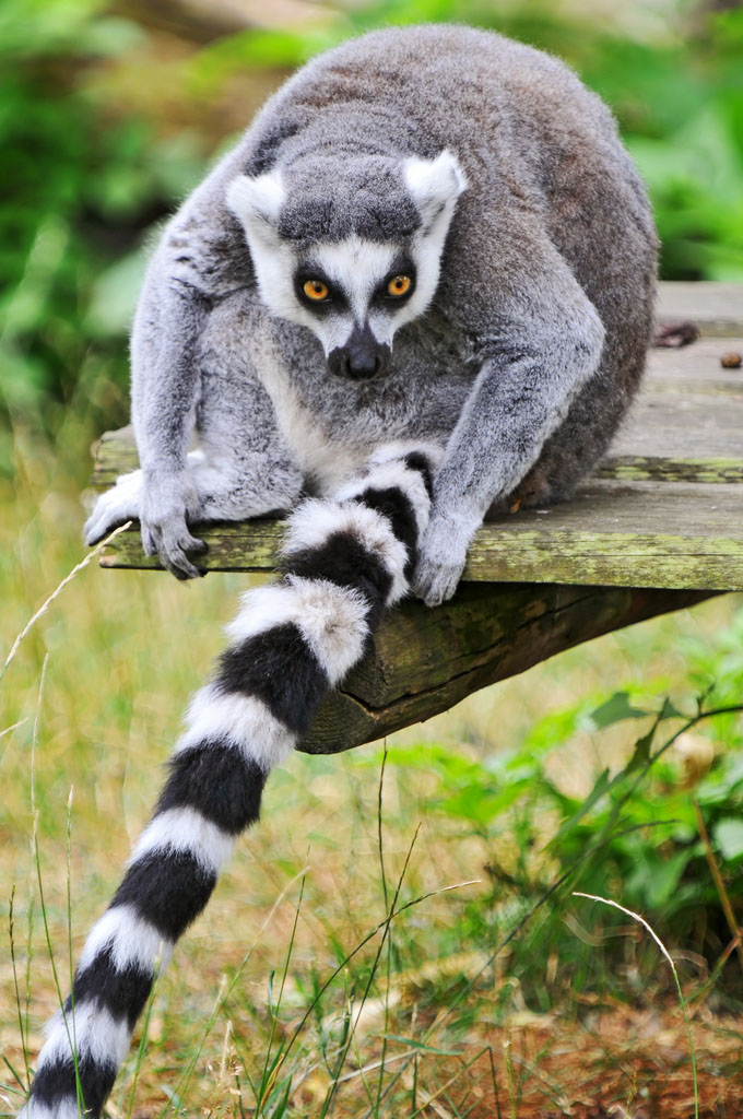 lemur catta4 The Most Recognized Lemur Catta