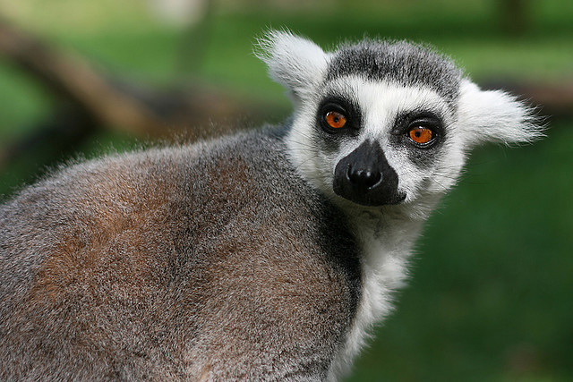 lemur catta8 The Most Recognized Lemur Catta