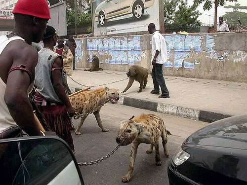 hyena5 The Nigerian Hyena Men   Do You Want a Good GuardDog ?
