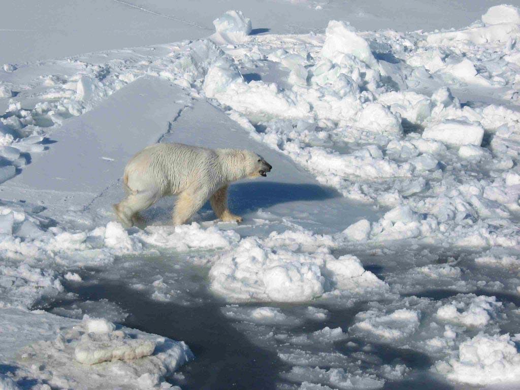 polar bears3 What Do Polar Bears Eat ?