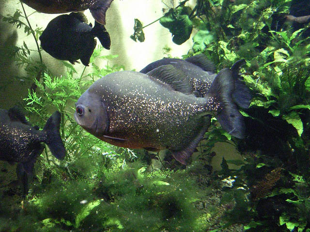 red pirahnas2 Red Belly Piranhas Care