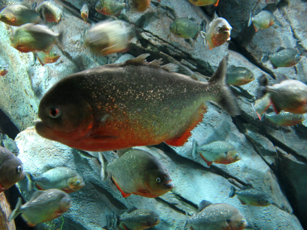 red pirahnas8 Red Belly Piranhas Care