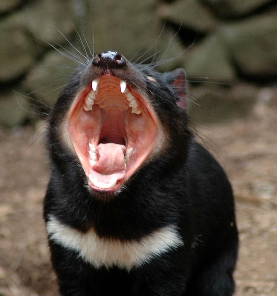 tasmanian devil The Tasmanian Devil   Nighttime Animal