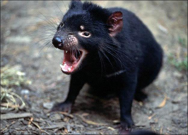 tasmanian devil1 The Tasmanian Devil   Nighttime Animal