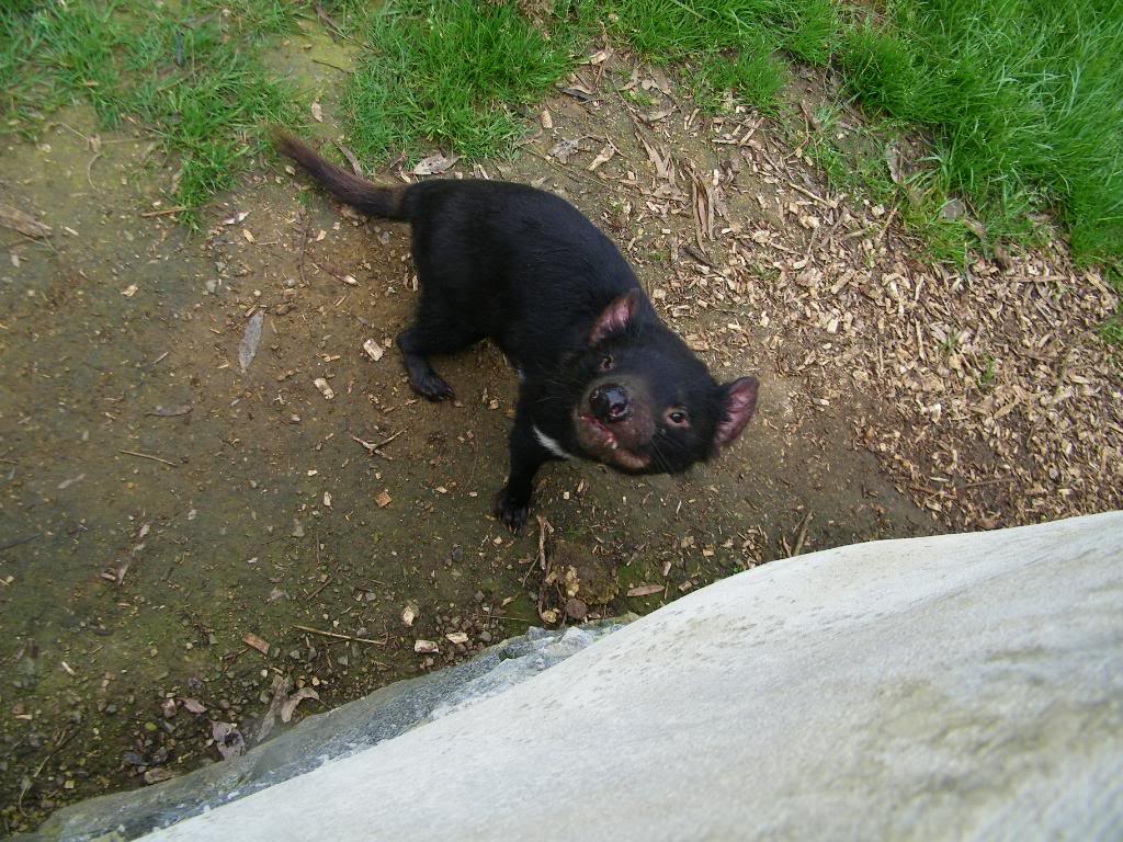 tasmanian devil10 The Tasmanian Devil   Nighttime Animal