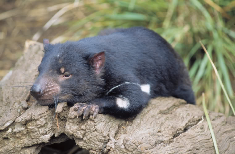 tasmanian devil11 The Tasmanian Devil   Nighttime Animal