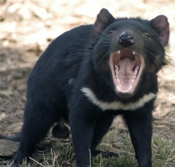 tasmanian devil2 The Tasmanian Devil   Nighttime Animal