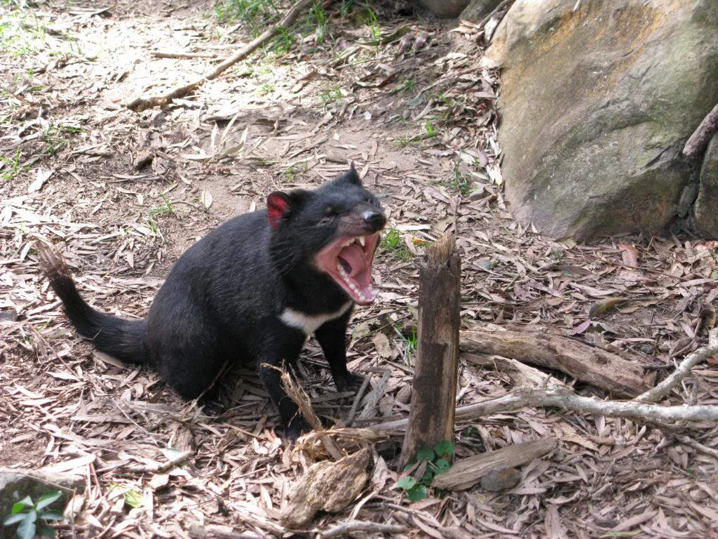 tasmanian devil3 The Tasmanian Devil   Nighttime Animal