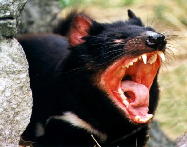 tasmanian devil4 The Tasmanian Devil   Nighttime Animal