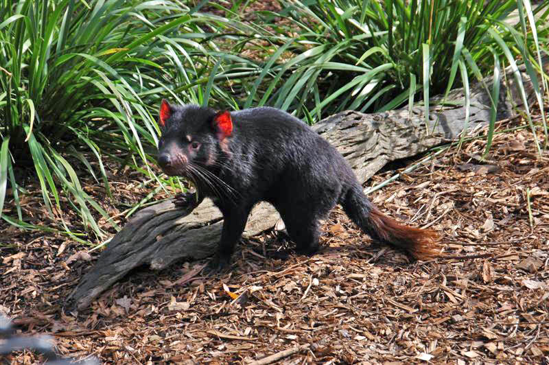 tasmanian devil5 The Tasmanian Devil   Nighttime Animal