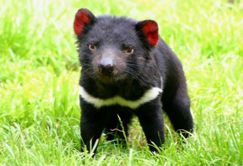 tasmanian devil6 The Tasmanian Devil   Nighttime Animal