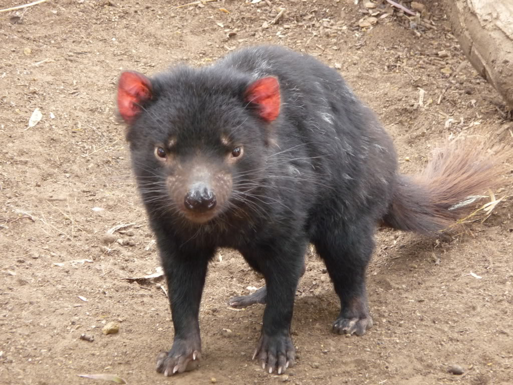 tasmanian devil8 The Tasmanian Devil   Nighttime Animal
