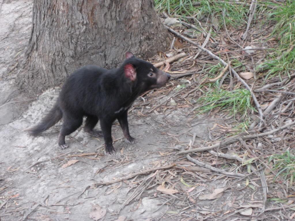 tasmanian devil9 The Tasmanian Devil   Nighttime Animal