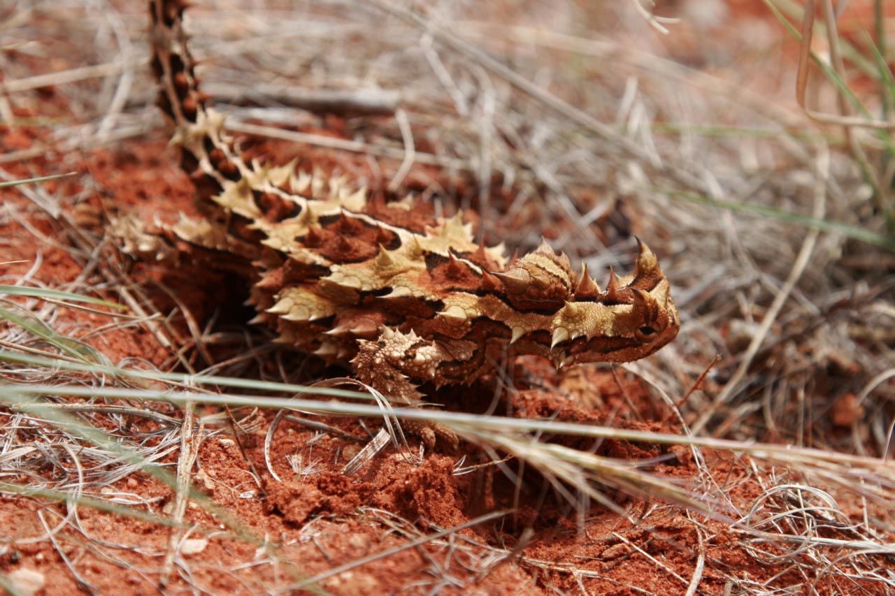 thorny devil6 Thorny Devil Lizard Looks Scary