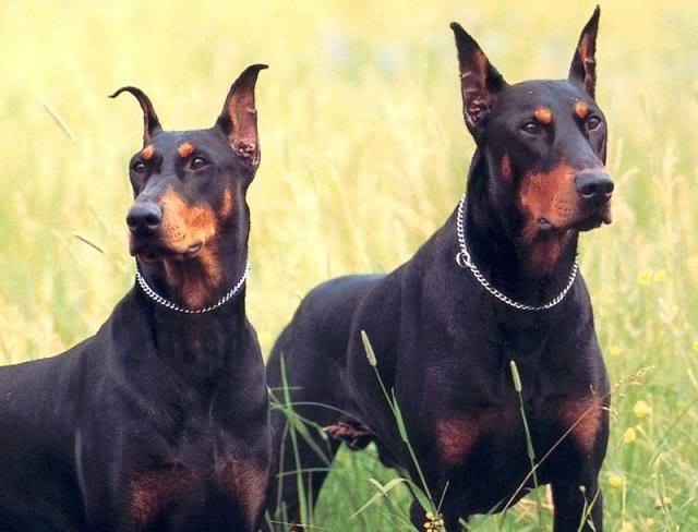 top ten smartest dogs Top Ten of Smartest Dogs
