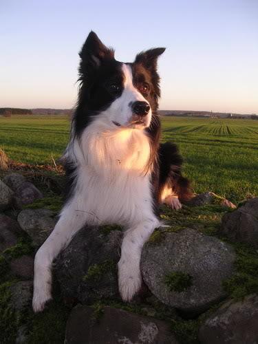 top ten smartest dogs2 Top Ten of Smartest Dogs
