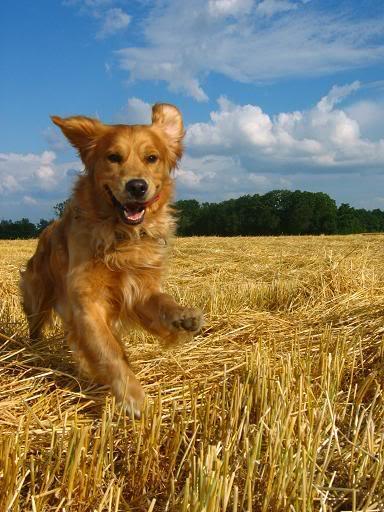 top ten smartest dogs8 Top Ten of Smartest Dogs