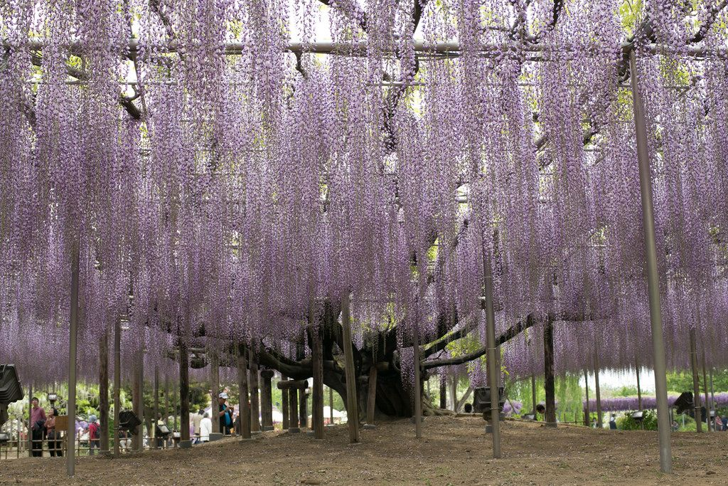 ashikaga flower park1 Amazing Ashikaga Flower Park, Japan