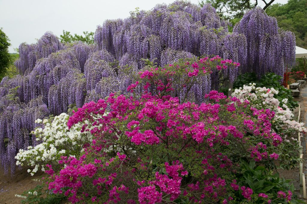 ashikaga flower park7 Amazing Ashikaga Flower Park, Japan