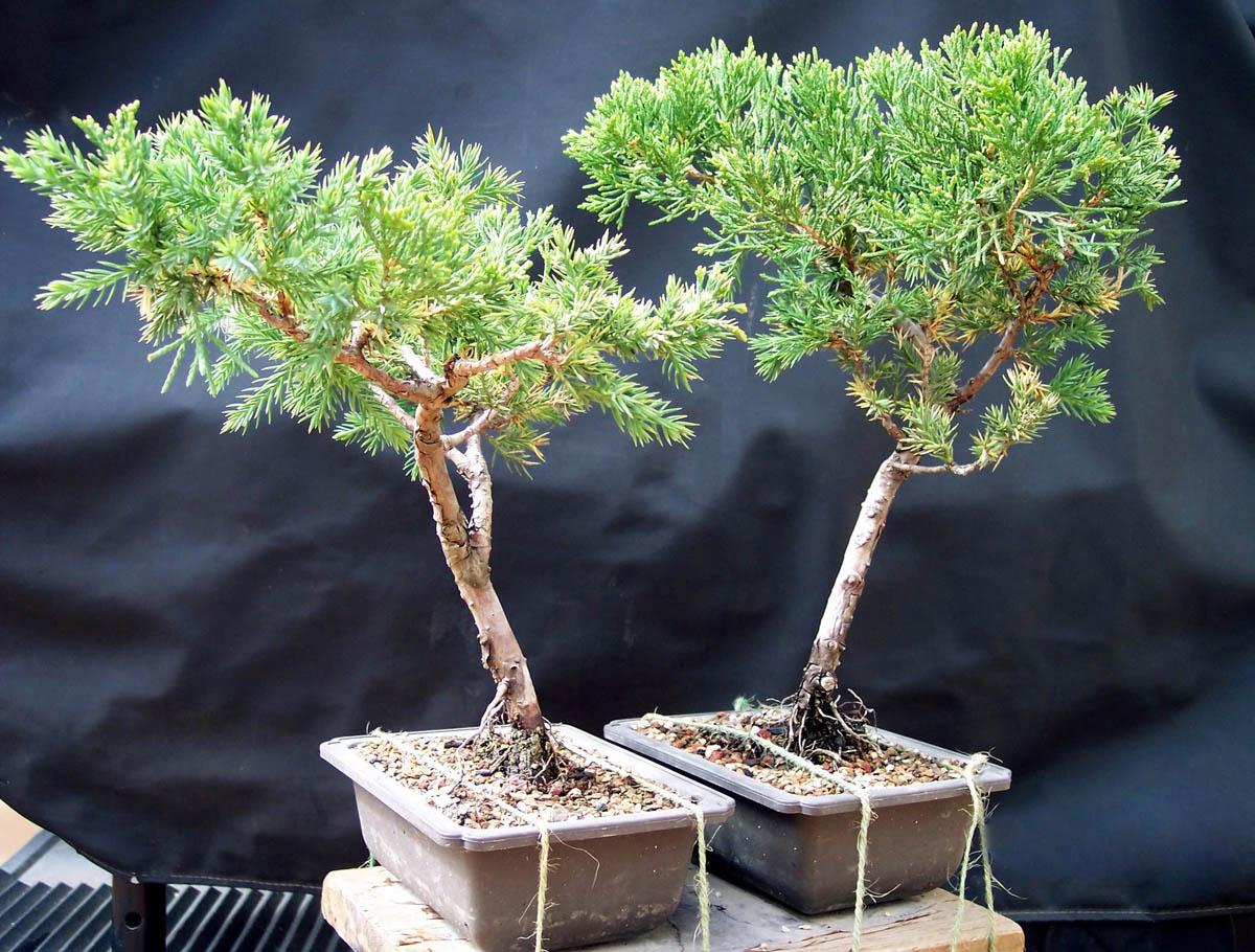 bonsai tree11 What is a Bonsai Tree ?