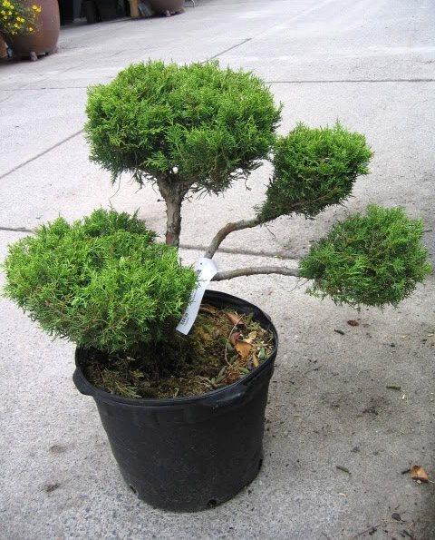 bonsai tree12 What is a Bonsai Tree ?