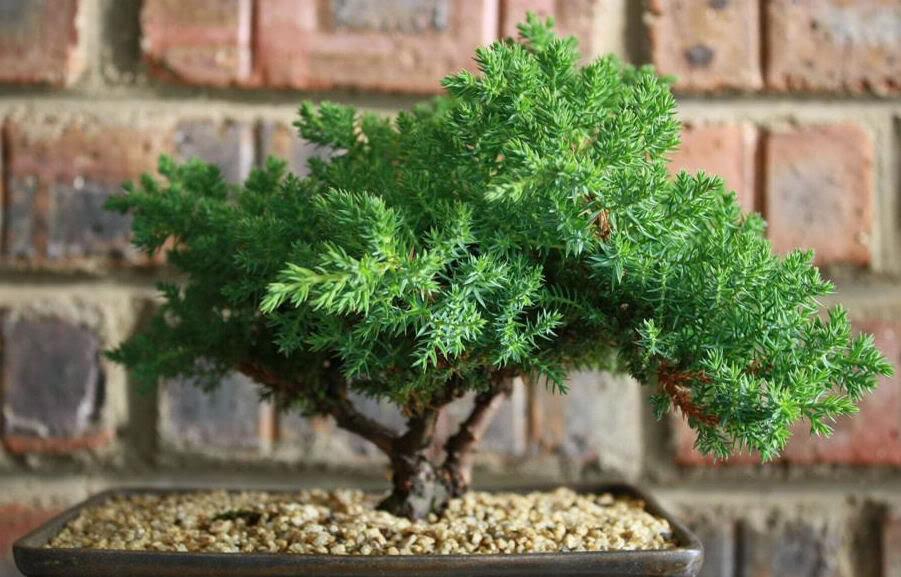 bonsai tree13 What is a Bonsai Tree ?