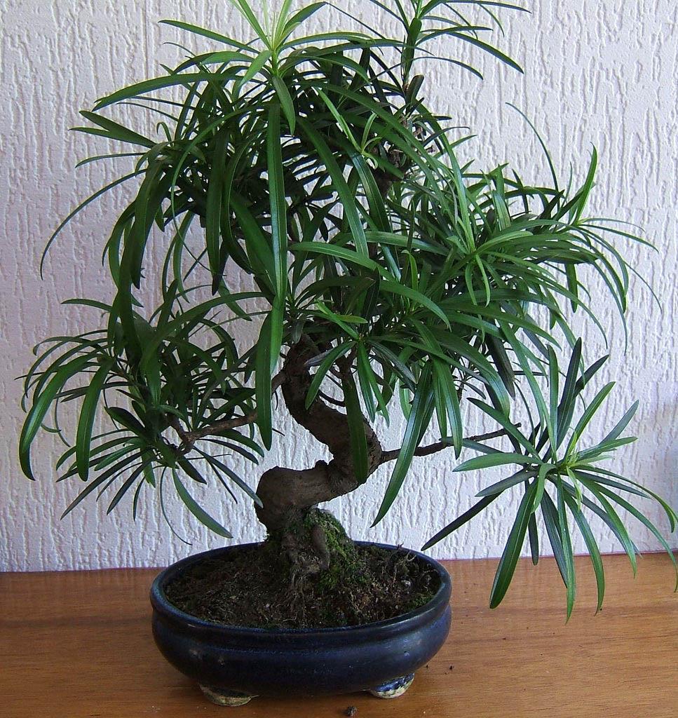 bonsai tree14 What is a Bonsai Tree ?
