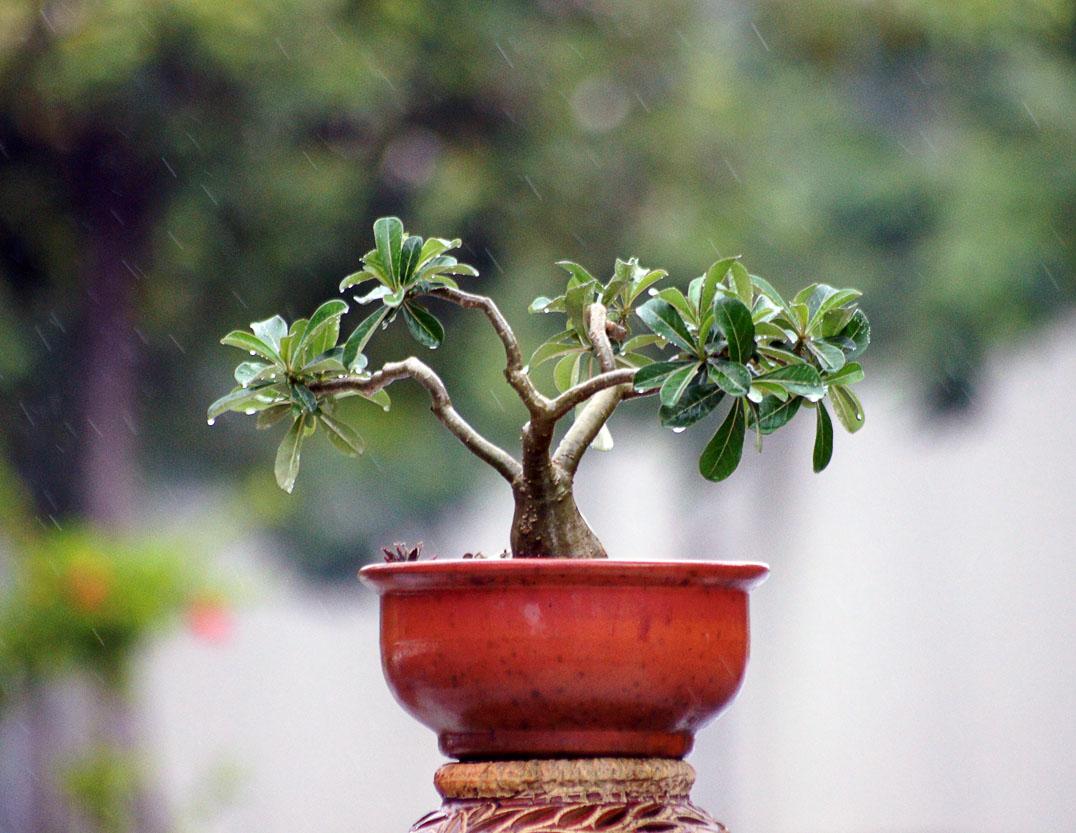 bonsai tree15 What is a Bonsai Tree ?