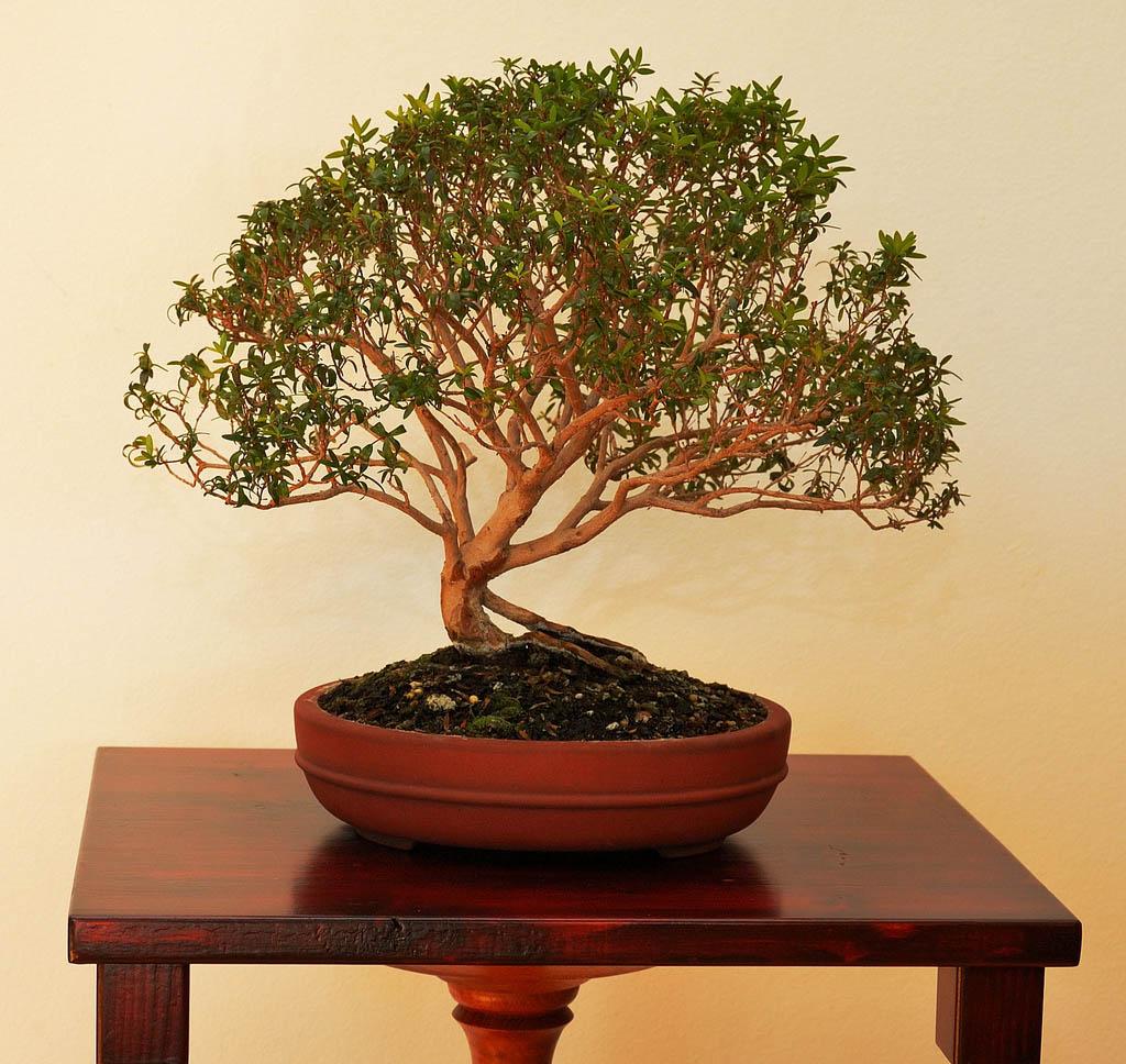 bonsai tree17 What is a Bonsai Tree ?
