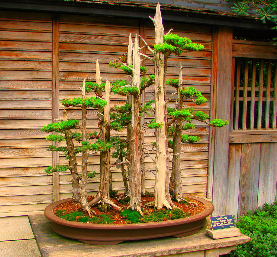 bonsai tree2 What is a Bonsai Tree ?