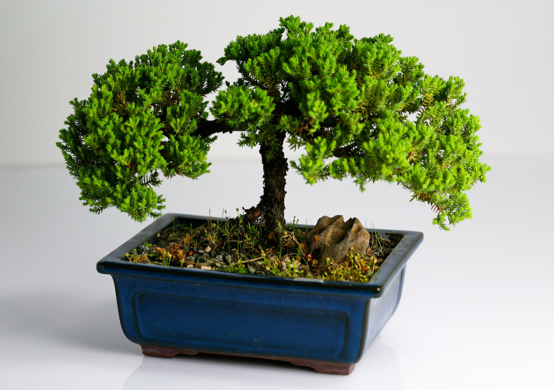 bonsai tree3 What is a Bonsai Tree ?