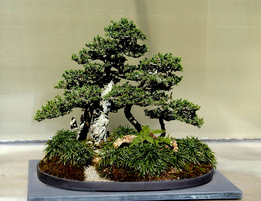 bonsai tree8 What is a Bonsai Tree ?