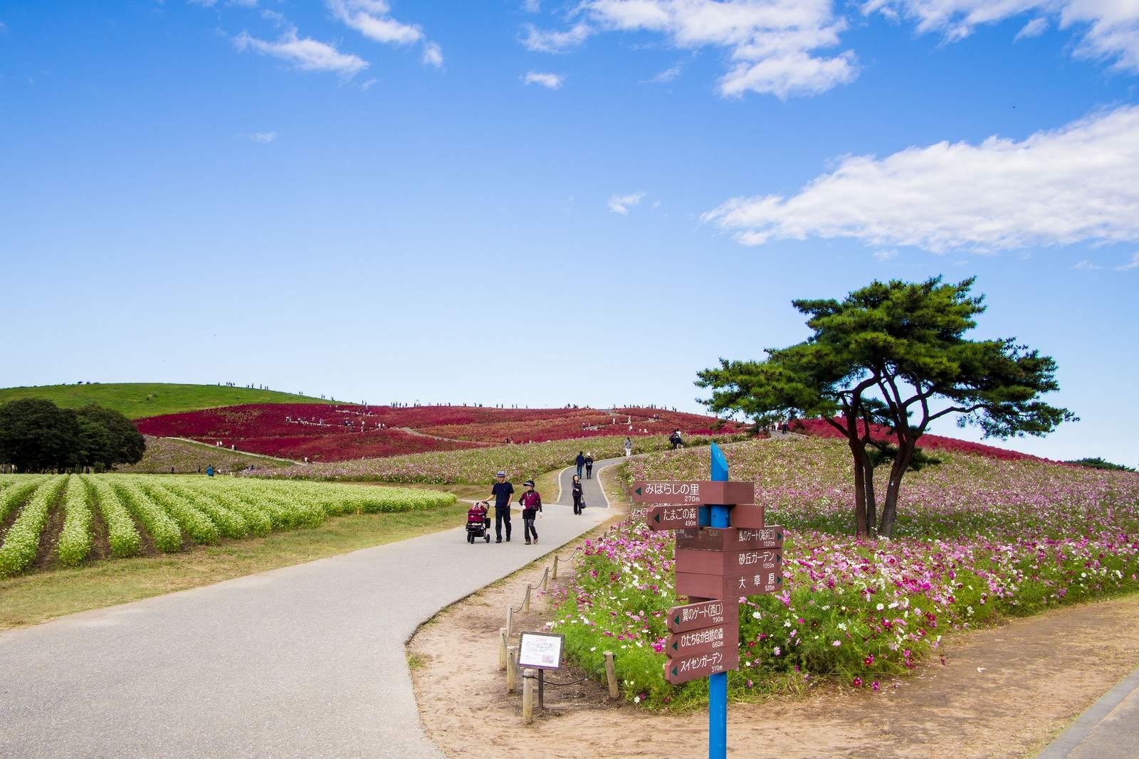 hitachi seaside park3 Hitachi Seaside Park, Hitachinaka, Japan