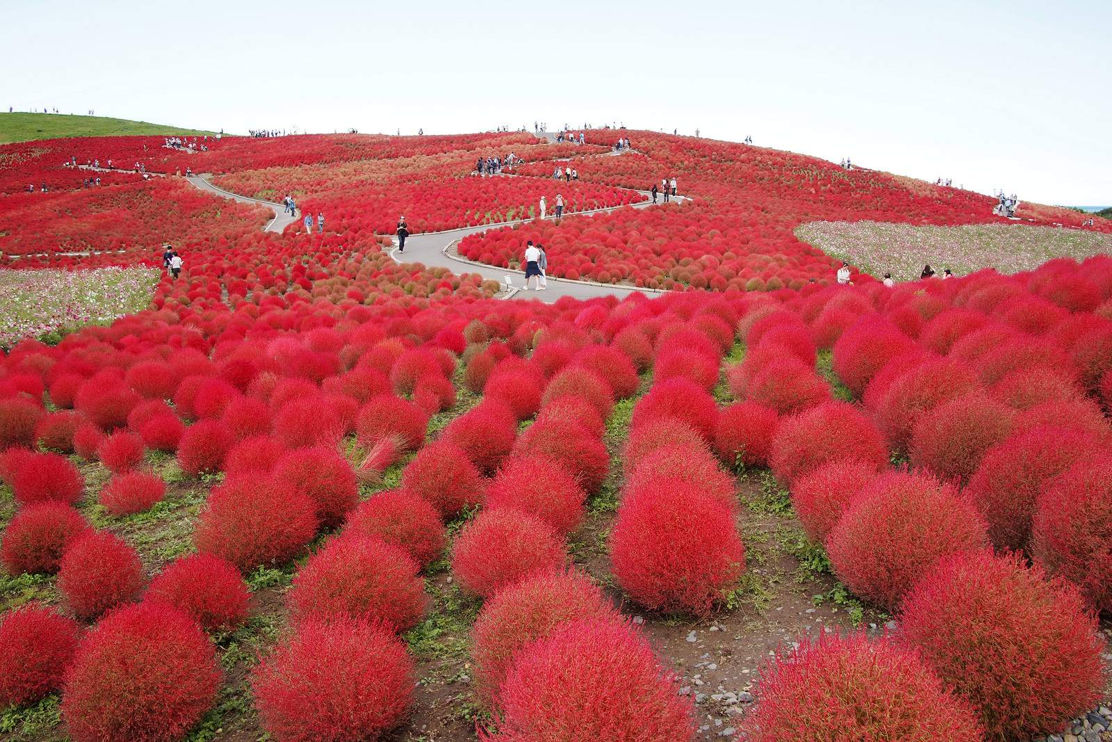 hitachi seaside park4 Hitachi Seaside Park, Hitachinaka, Japan