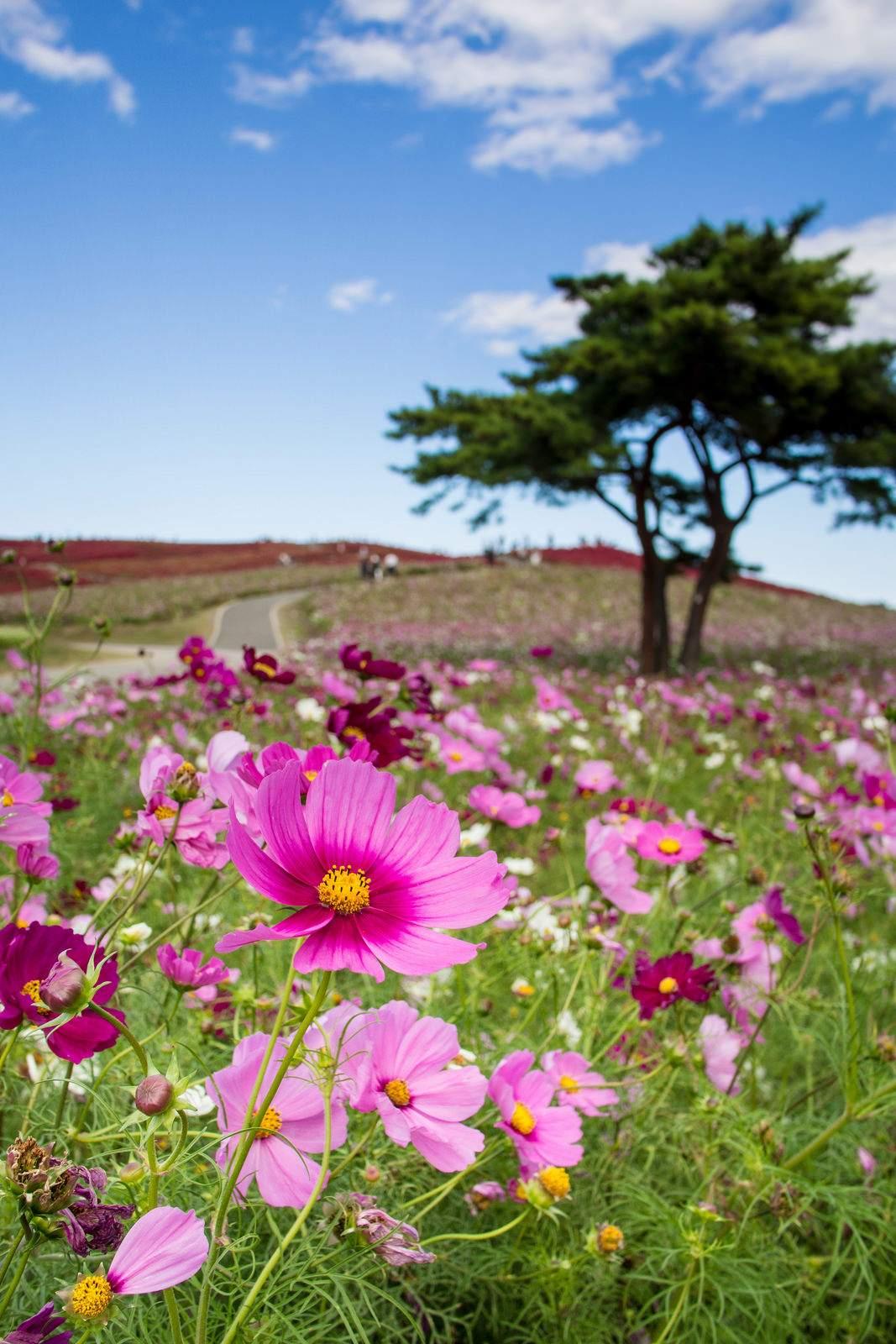 hitachi seaside park6 Hitachi Seaside Park, Hitachinaka, Japan
