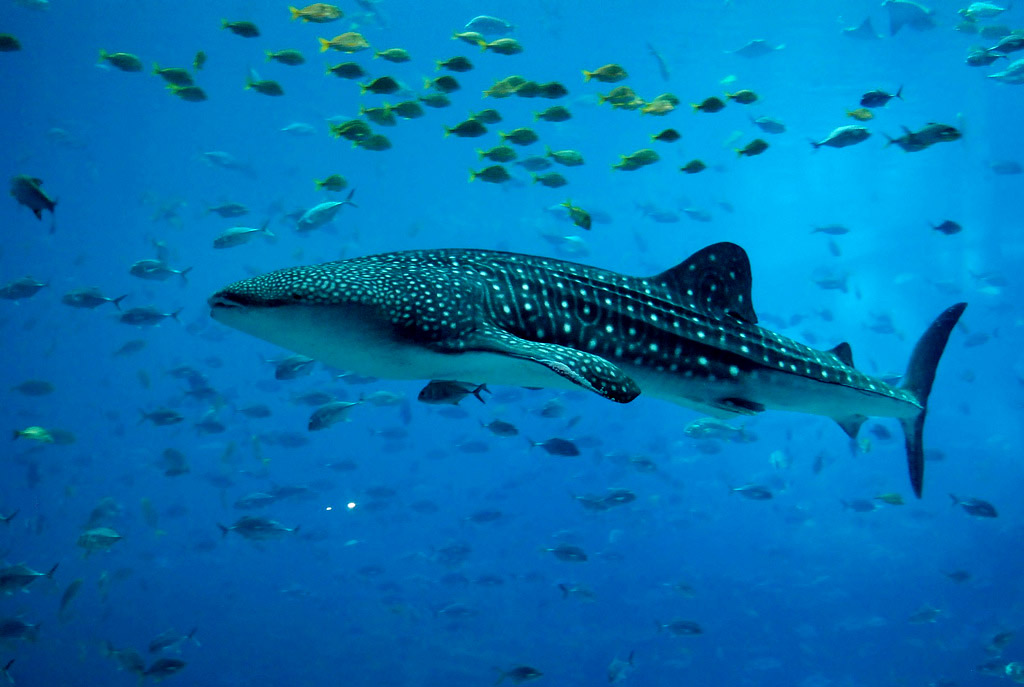 whale shark1 Whale Shark The Worlds Biggest Fish